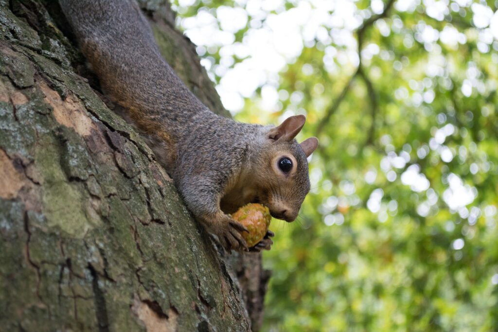 squirrel with nut on tree trunk