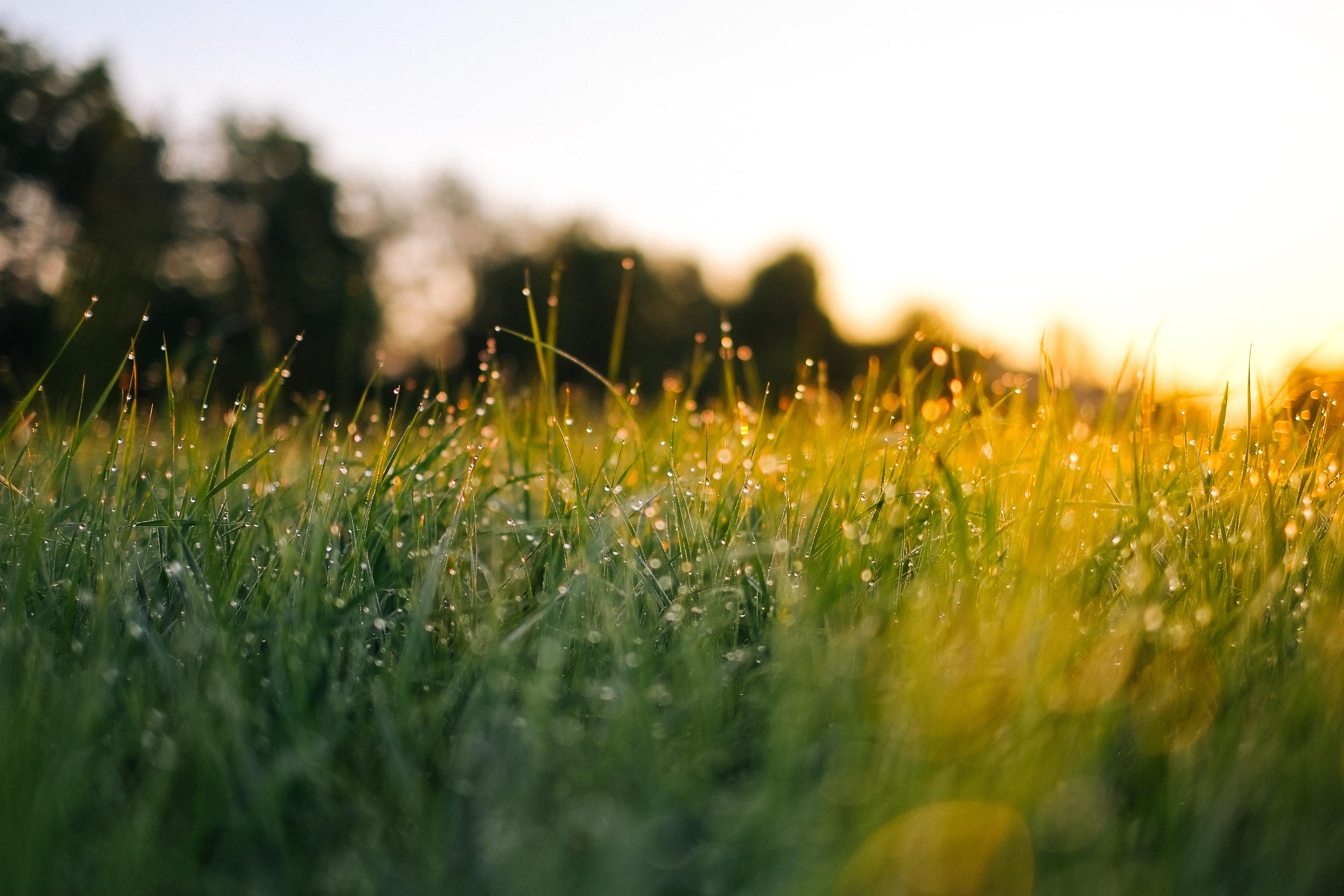 wet grass in sunrise
