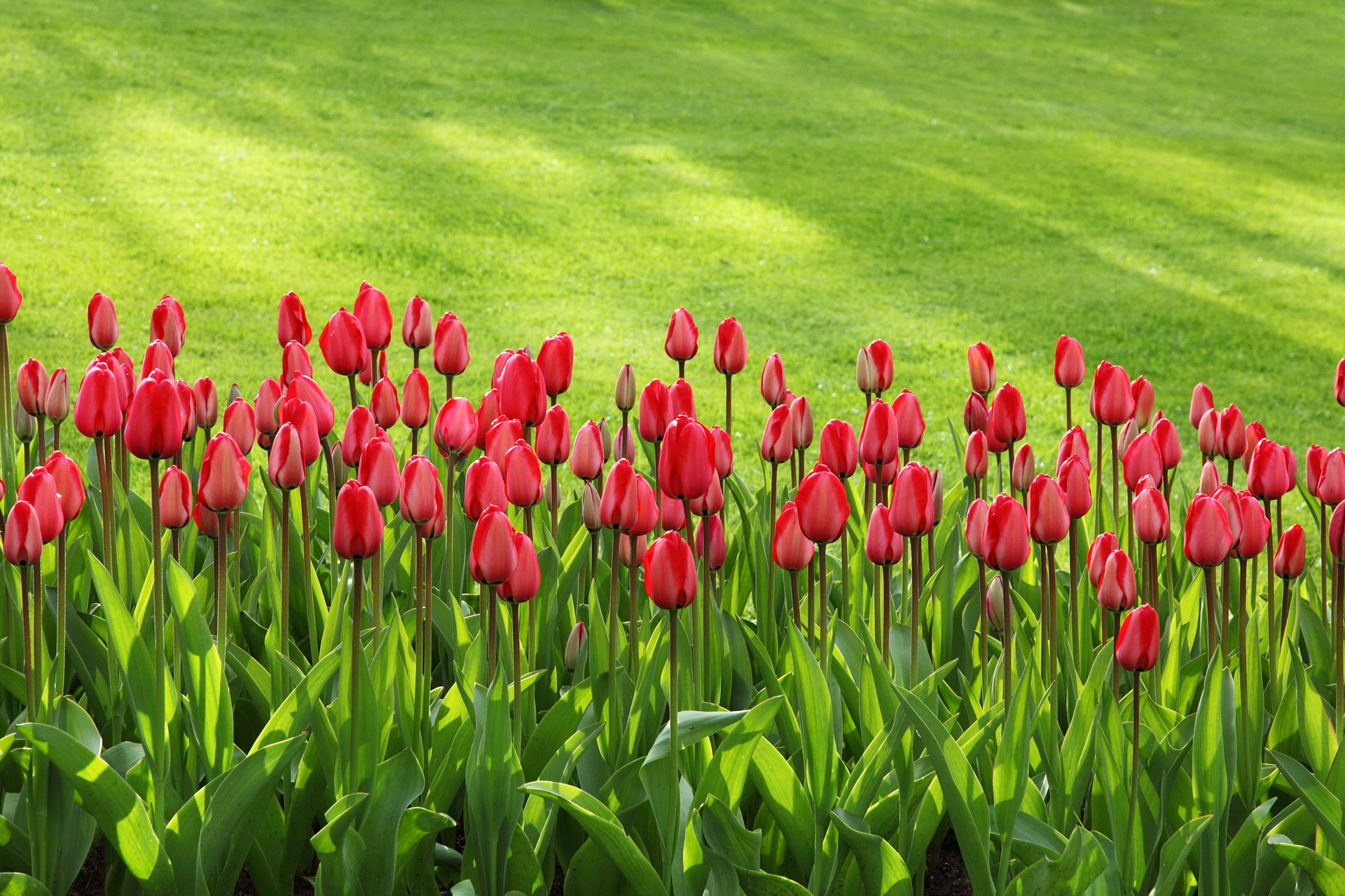 tulips in a well-maintained garden